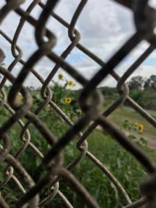 Sunflower along Texas-Mexico border. Photo credit: Ana Hernández